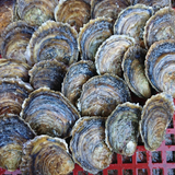 Sail Caught Native Oysters