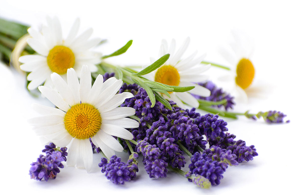 Lavender and chamomile flowers isolated on white background
