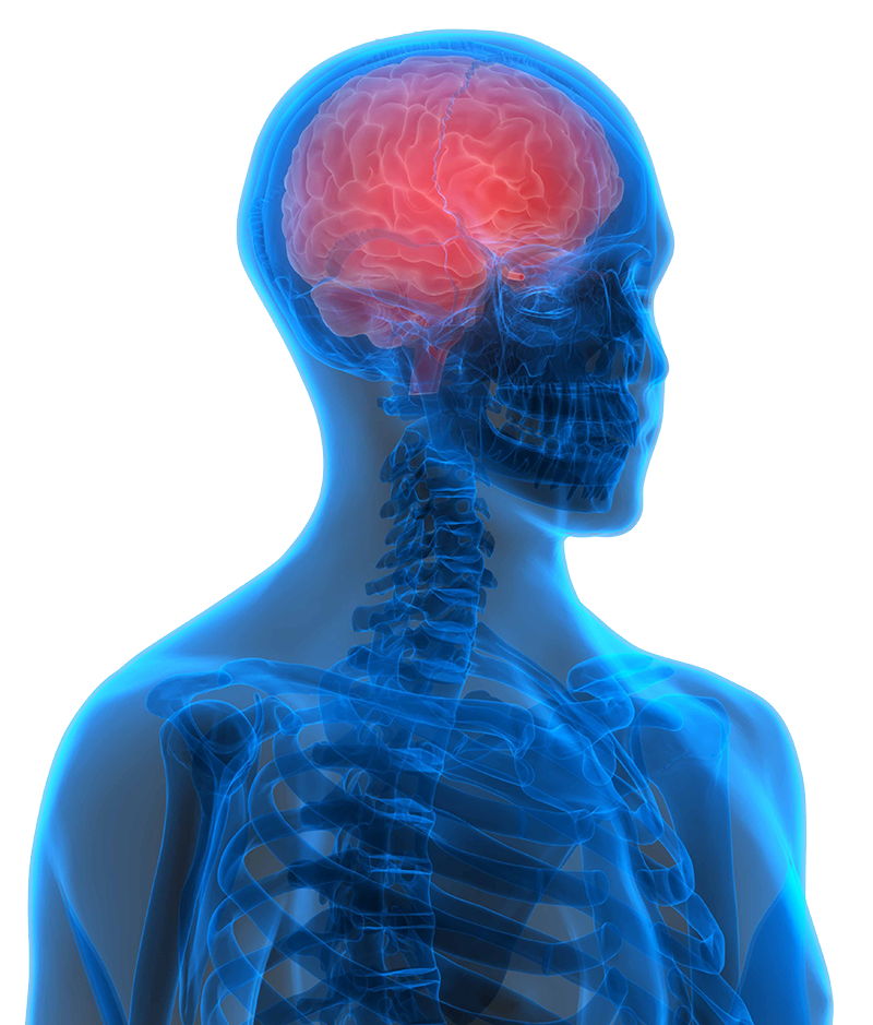 3-D computer rendering of a brain within the skull isolated on white background