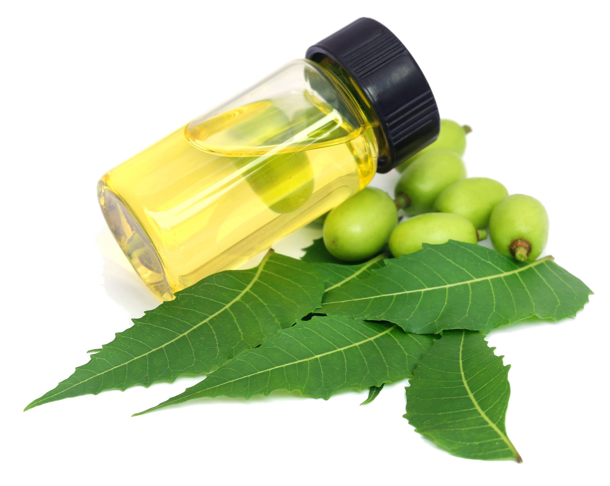 vial of neem oil with neem fruit and leaves isolated on white background