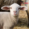 Lamb for Qurbani 2020 (Whole)