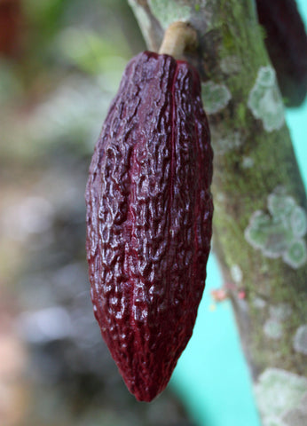 Peru Purple Cacao Pod Stone Grindz Chocolate