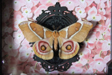 Load image into Gallery viewer, Antherea Suraka Moth