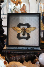 Load image into Gallery viewer, Gold Leafed Pomponia Imperatoria Cicada