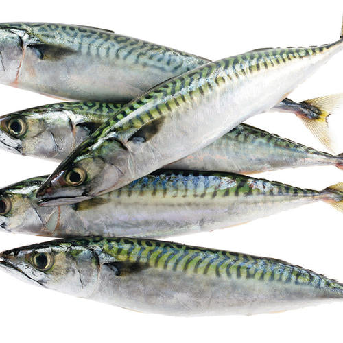 Atlantic Mackerel