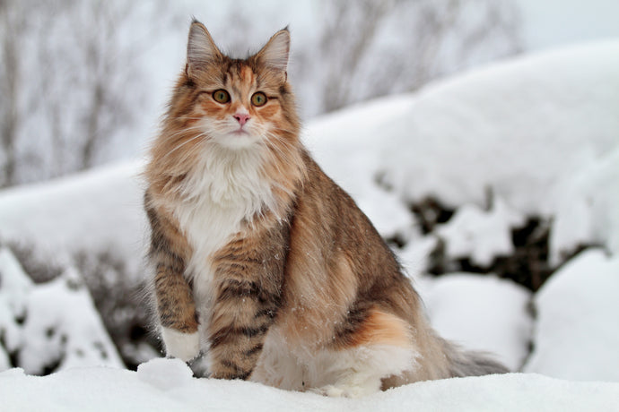 Pawesome Pets: The Norwegian Forest Cat
