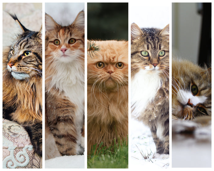 Cattus Top 5: Fluffiest Cat Breeds
