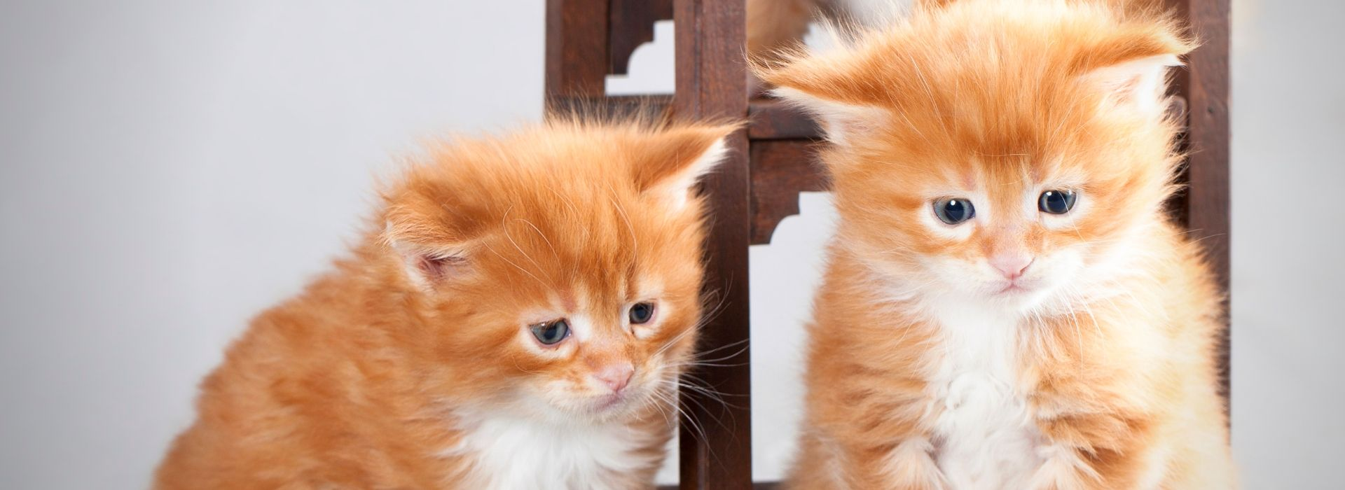 2 petits chatons Maine Coon Roux
