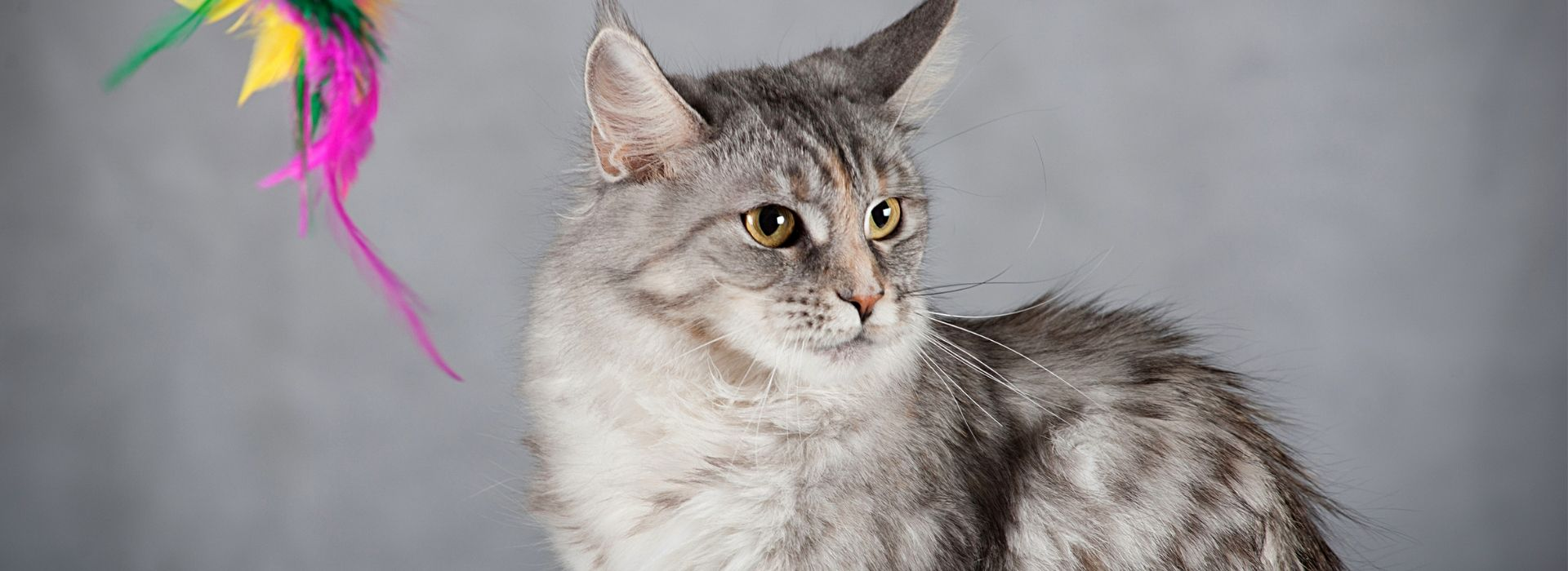 maine coon variante smoke