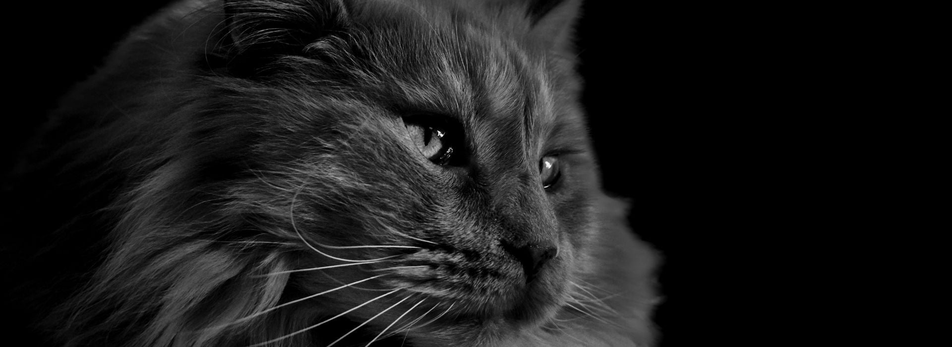 maine coon noir black smoke solide