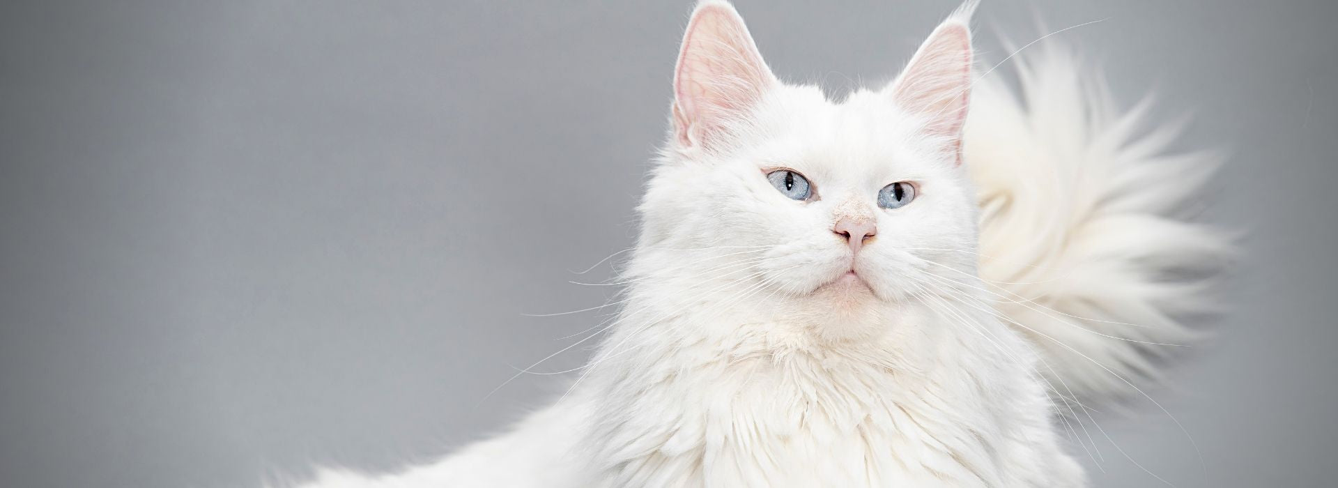 Maine coon blanc solide race