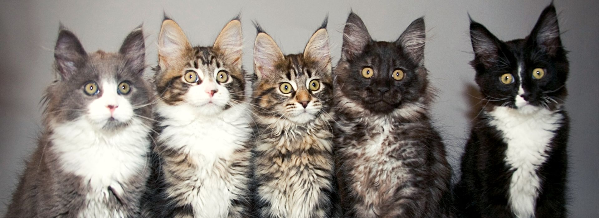 chatons maine coon solide tabby et bicolore blanc noir brun silver