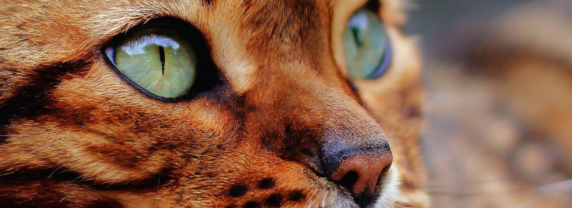 Regard chat du bengal