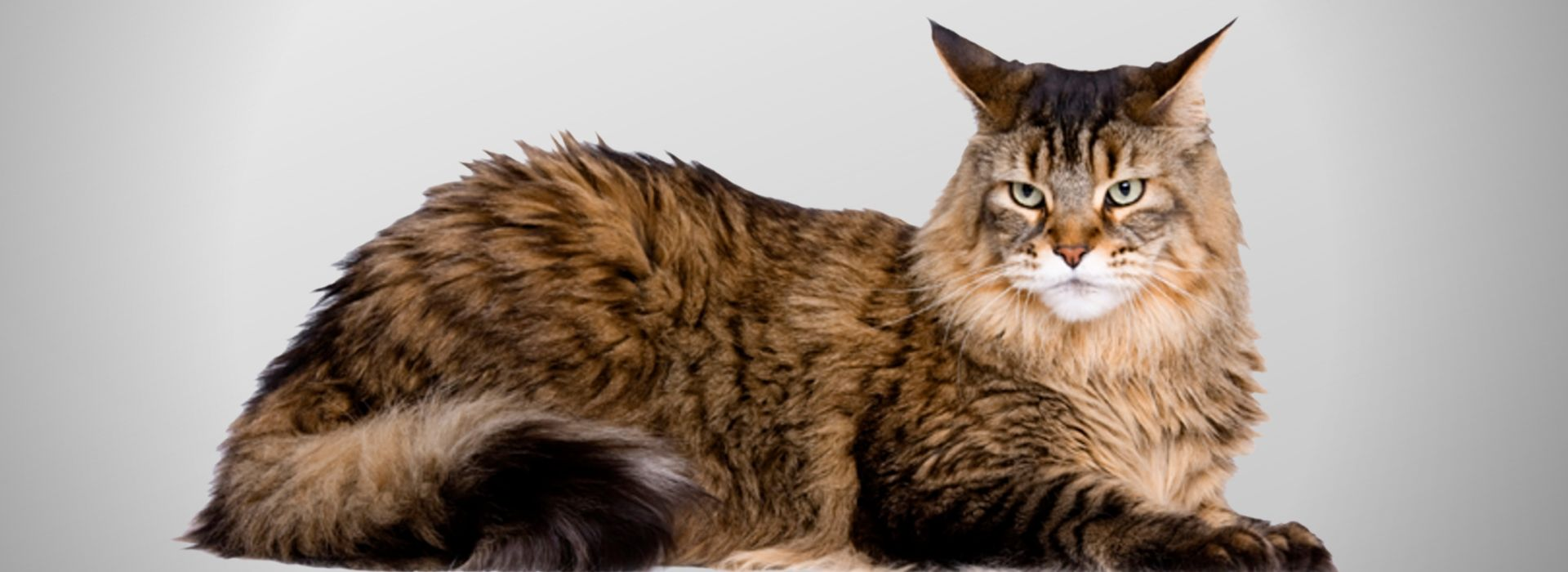 Chat maine coon super mignon