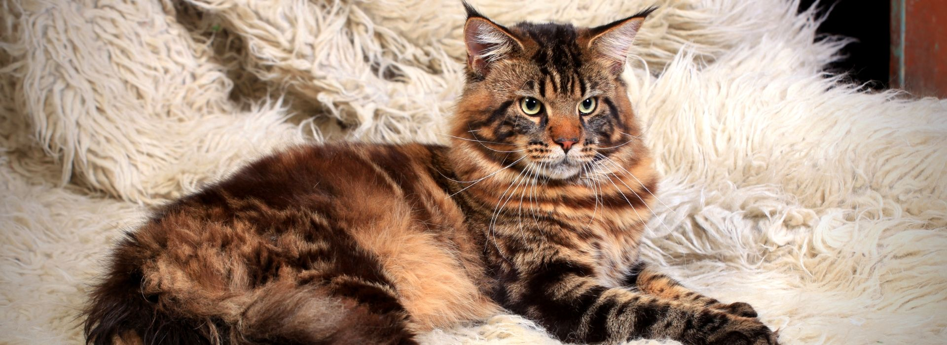 chat maine coon tabby brun