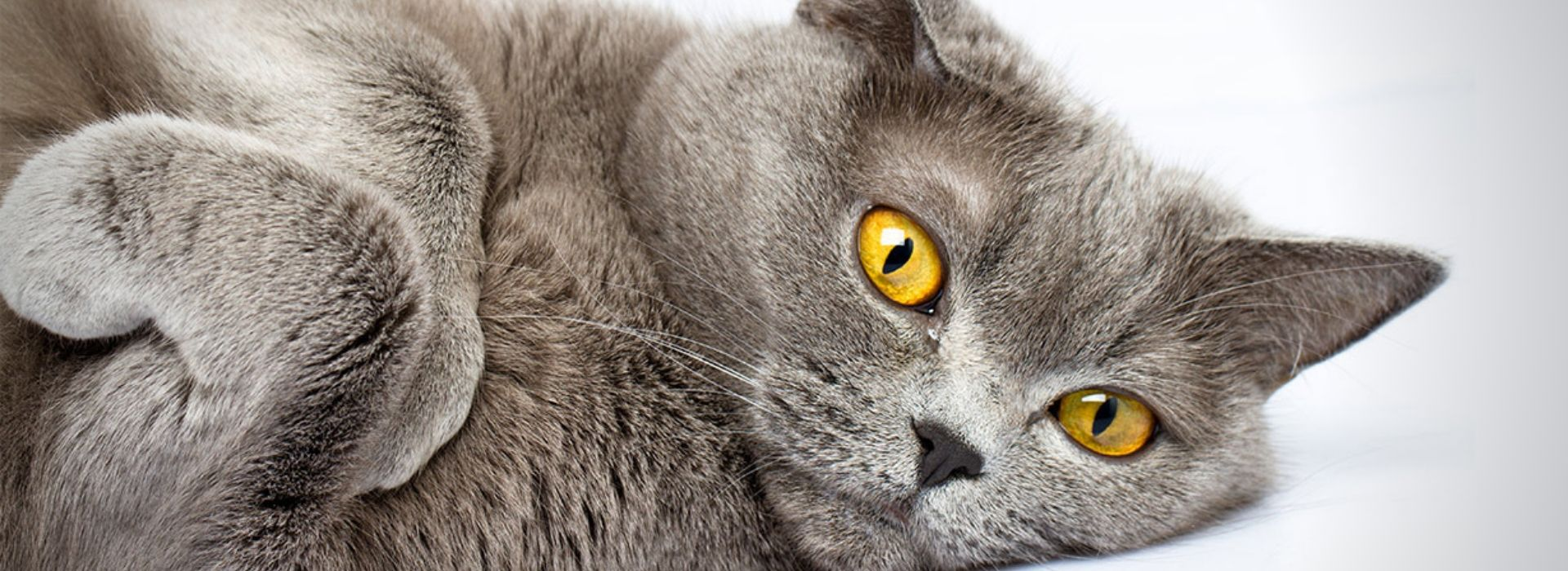Beau et adorable chat british Shorthair