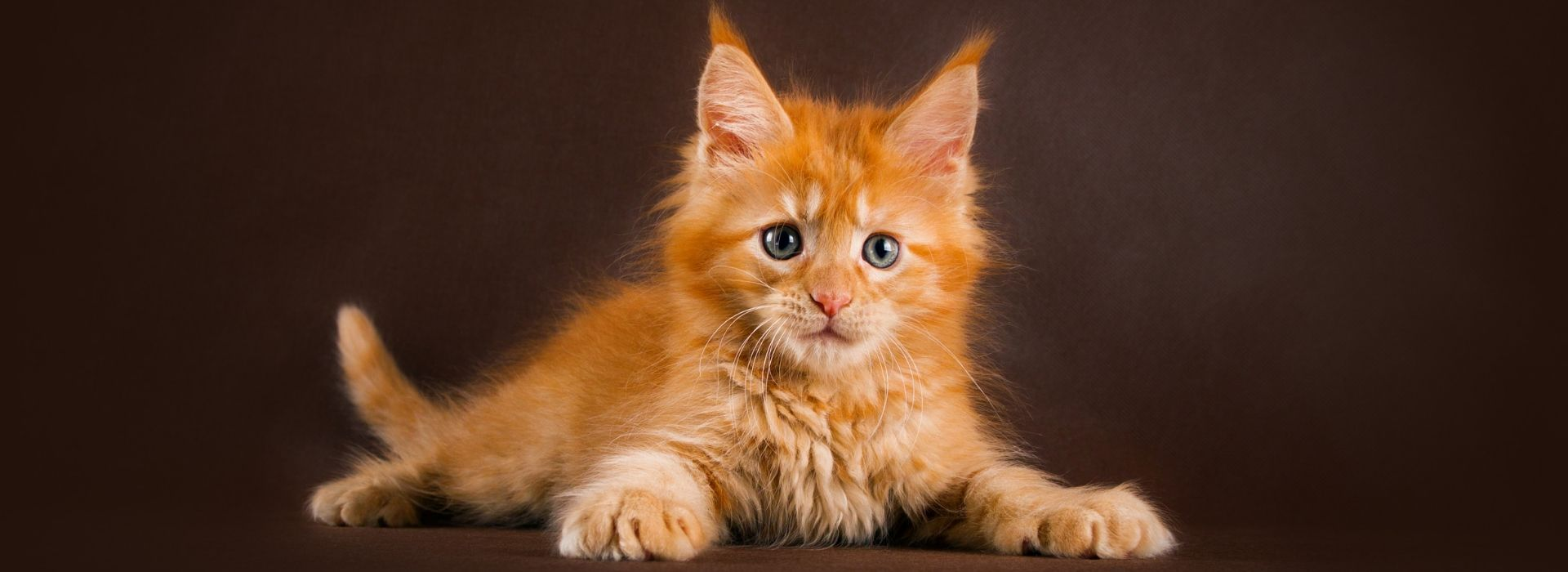 Chaton maine coon roux