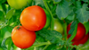 Common Tomato Pests - and How to Get Rid of them Header