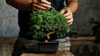 Pruning Bonsai to Perfection