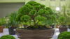 How to Take Care of Bonsai Trees