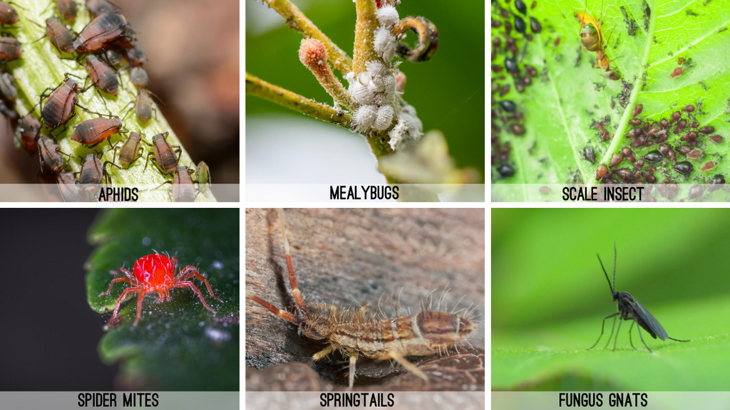 Aphids, Mealybugs, Scale insects, Spider Mites, Springtails, Fungus Gnats