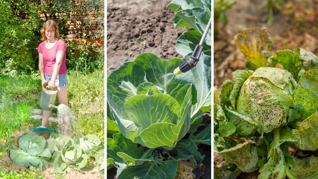 Caring for Cabbage Plants