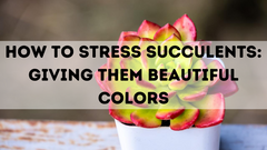 HOW TO STRESS SUCCULENTS: GIVING THEM BEAUTIFUL COLORS