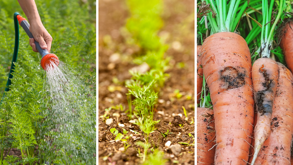 Caring for Carrot Plants