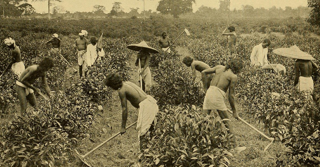 Assam Tea's Twisted History