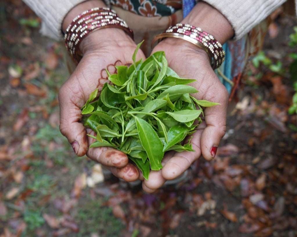Tea Company Connects Springfield with Northern India