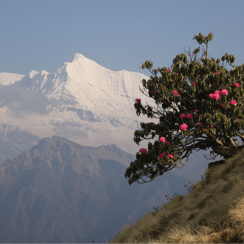 Rhododendron blooming on the side of a Himalayan mountainside