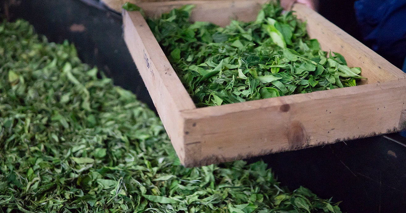 Fresh tea leaves sit in tray to wither during first stage of black tea making process.