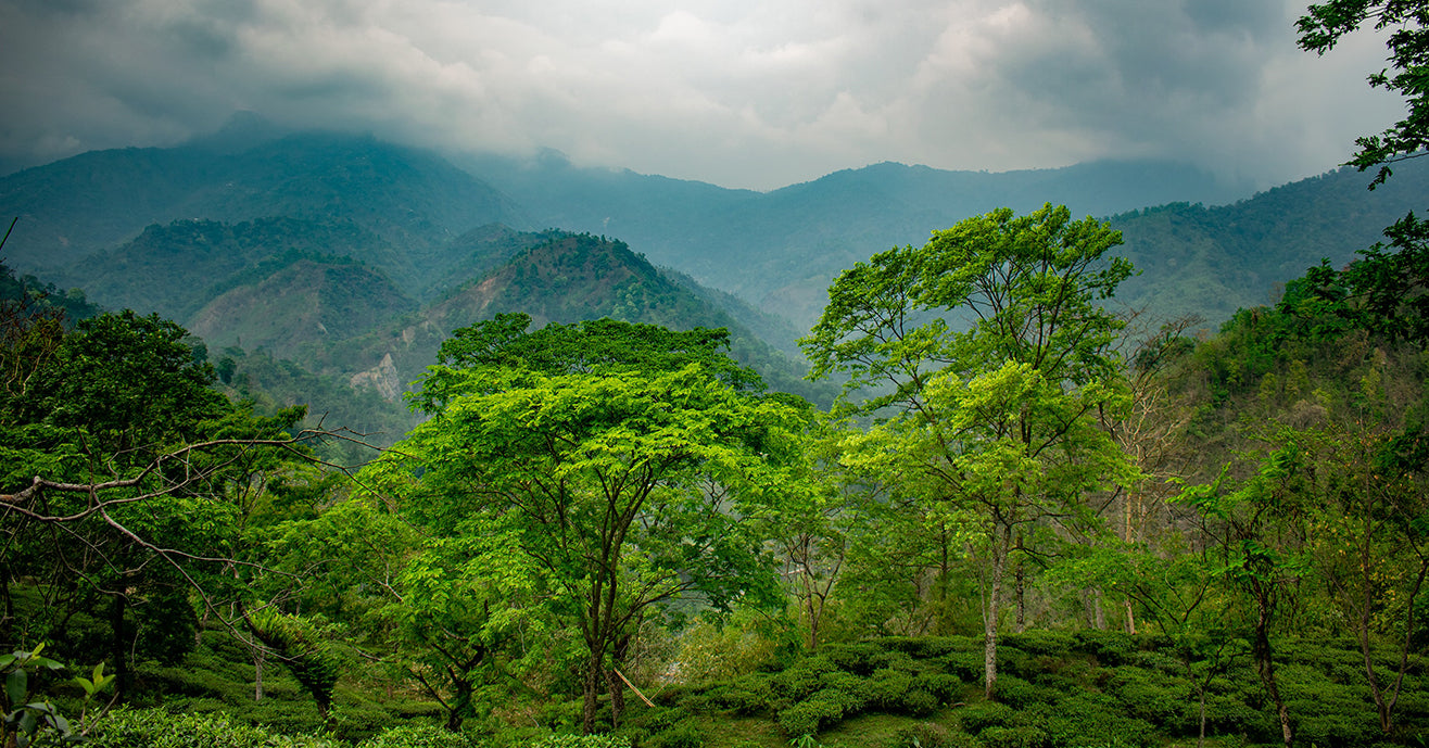 Lush view of darjeeling trees and vegetation, with misty mountains and rolling clouds. Photo by Boudhayan Bardhan.