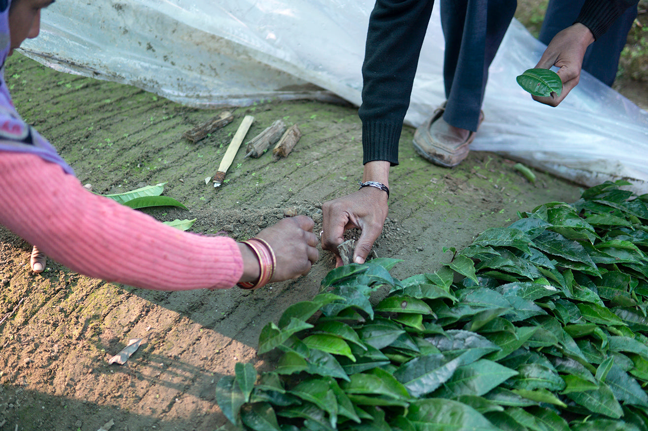 Seeding tea plant beds by hand