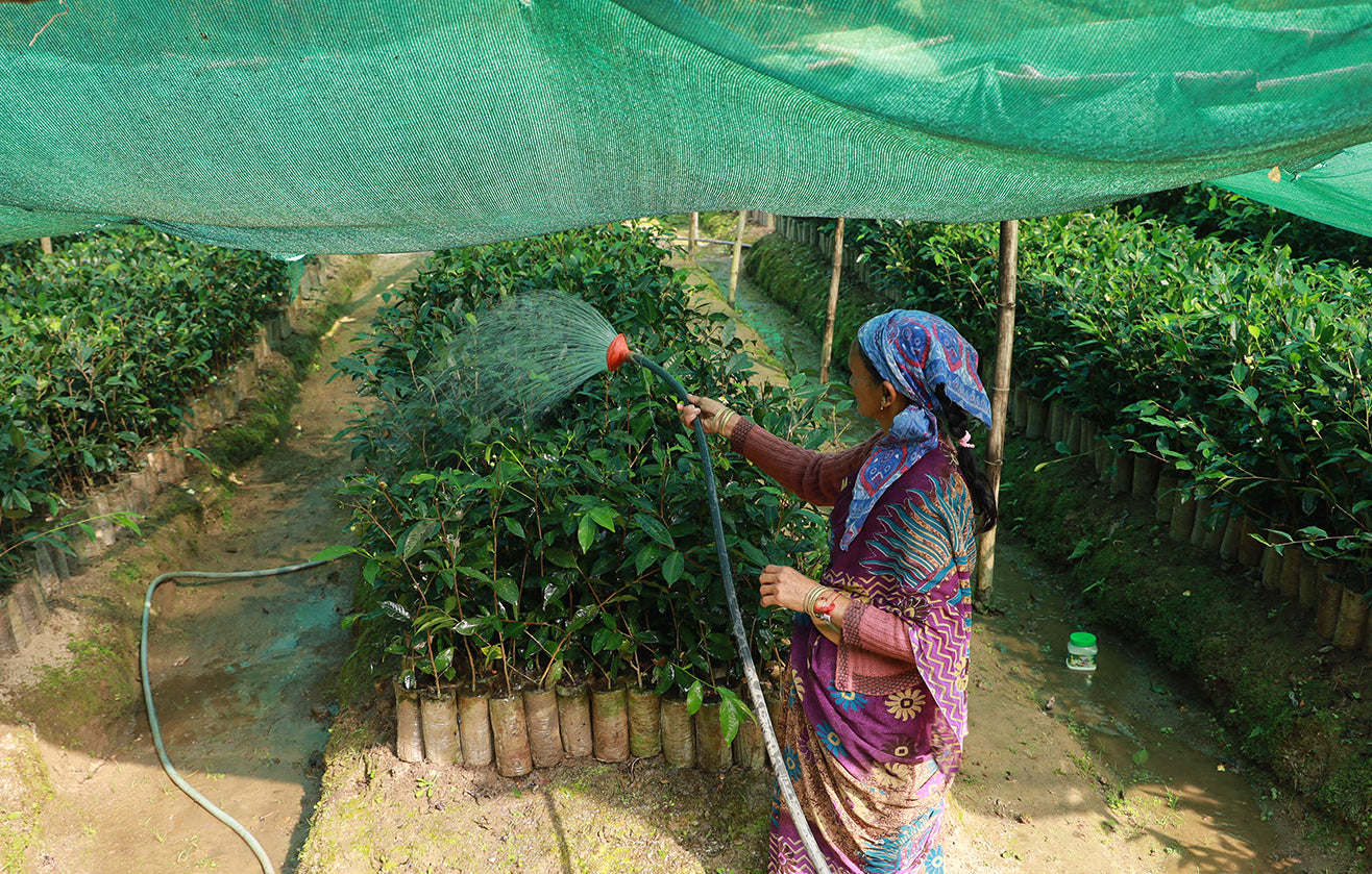 Woman in colorful clothing watering tea plant starts under a canopy