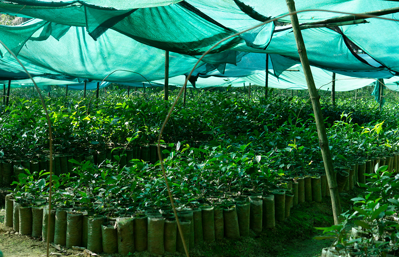 Tea plants being cultivated under a canopy