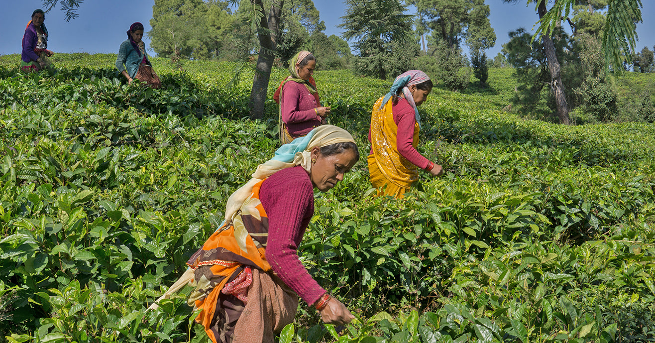 Covid relief for tea farmers in India & Nepal