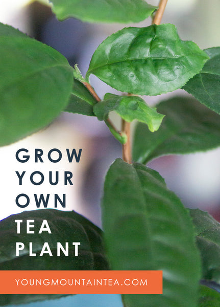 Grow Your Own Tea Plant Pin from Young Mountain Tea