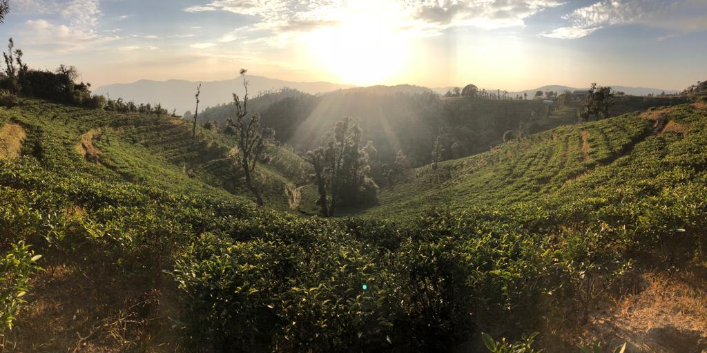 A valley full of planted tea in a new tea region of India, Kumaon.