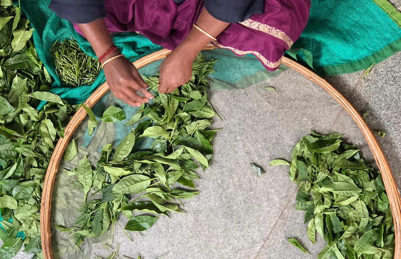 Overhead shot of woman hand-sorting tea leaves