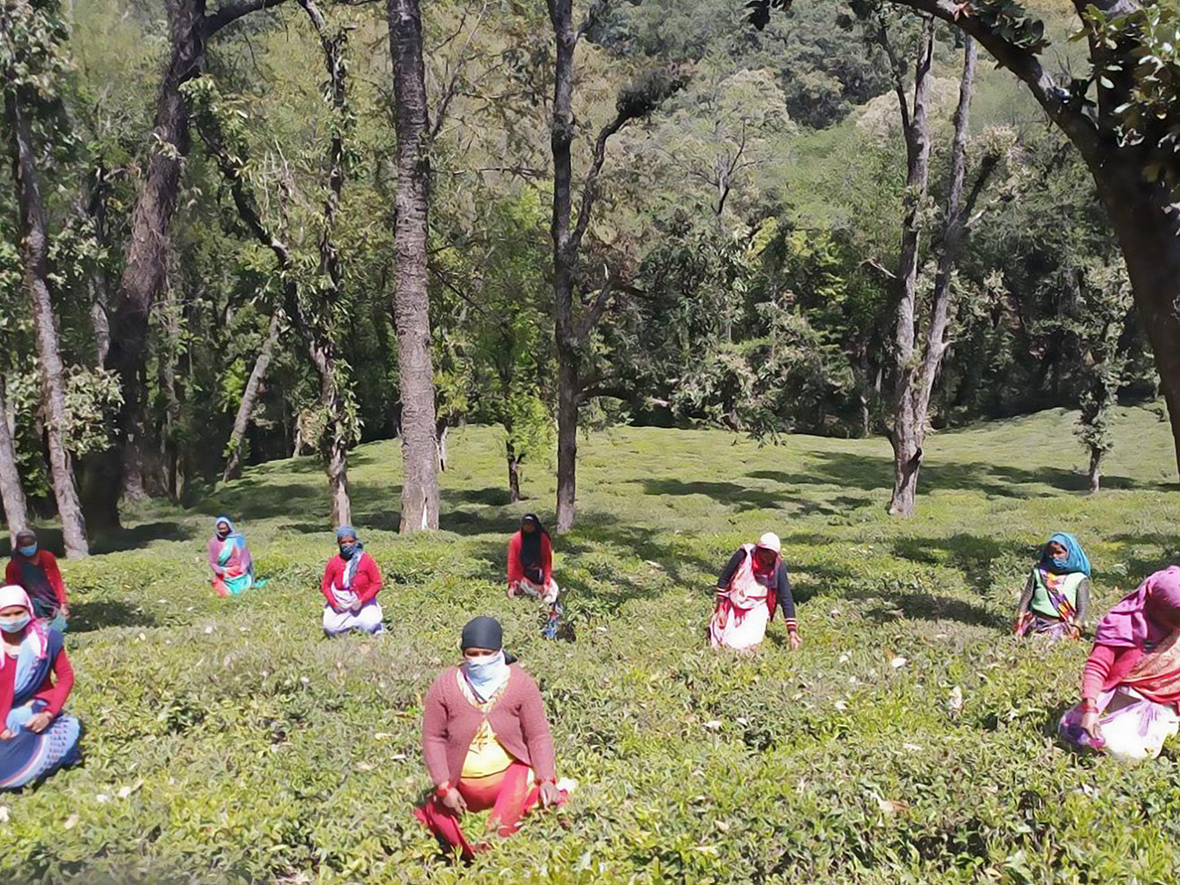 Kumaon tea pluckers in field wearing masks