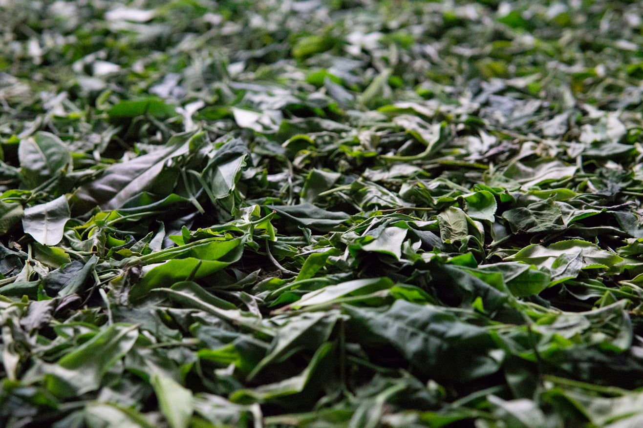 Green leaf destined to become Kumaon White Tea dries
