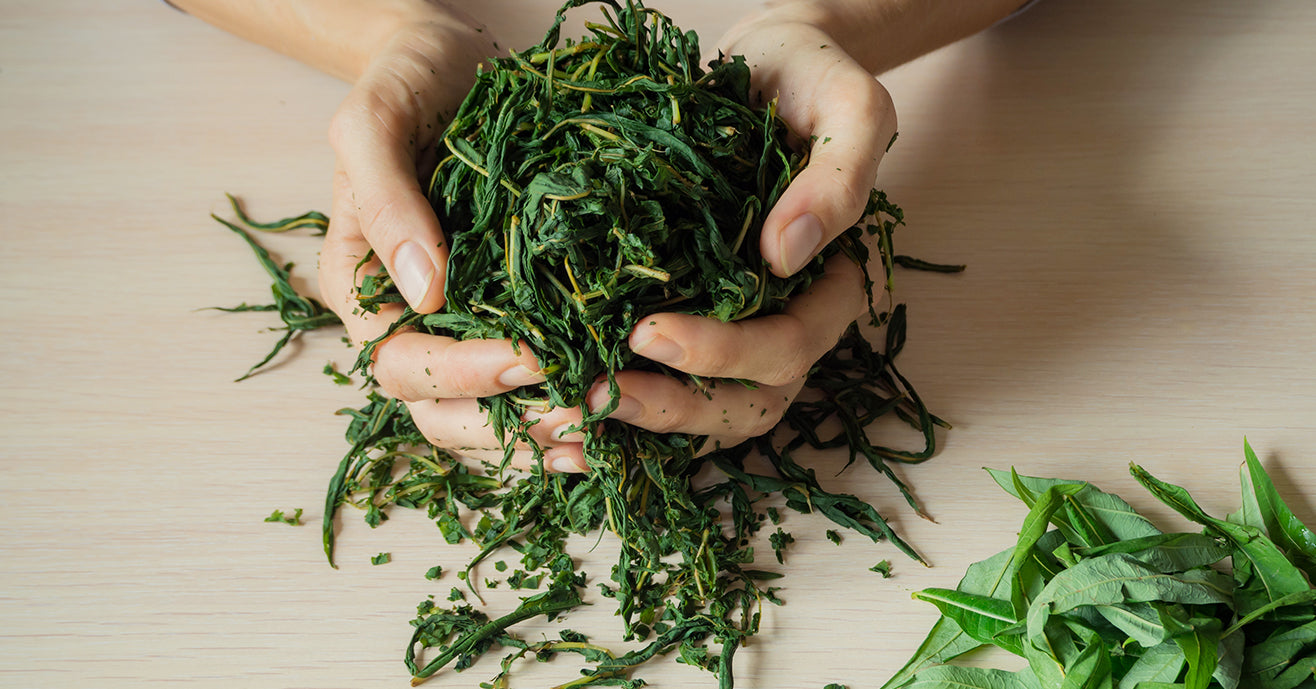 Processing Tea Leaves, hands holding drying leaves next to fresh leaves