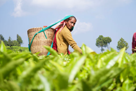 Woman tea picker in an organic tea garden in the Himalayas of the Kumaon region in India