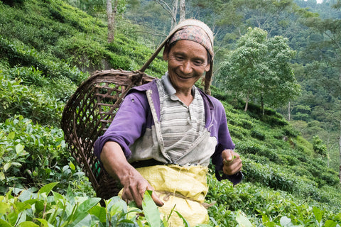 Nepali woman picking tea on the mountainside at Kachanjangha