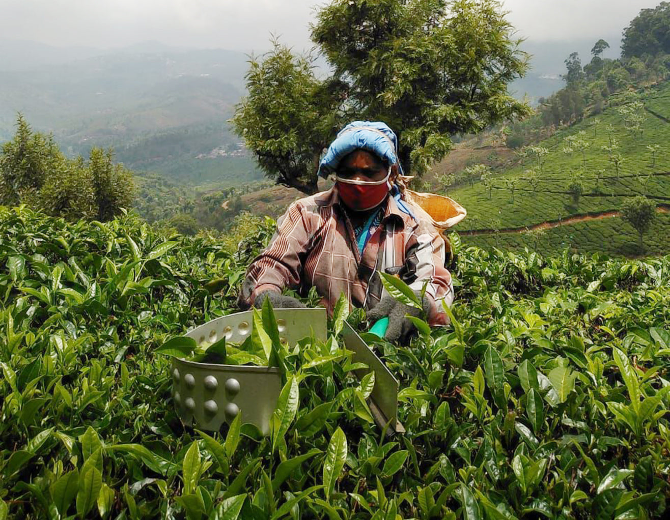 Tea picker in tea garden