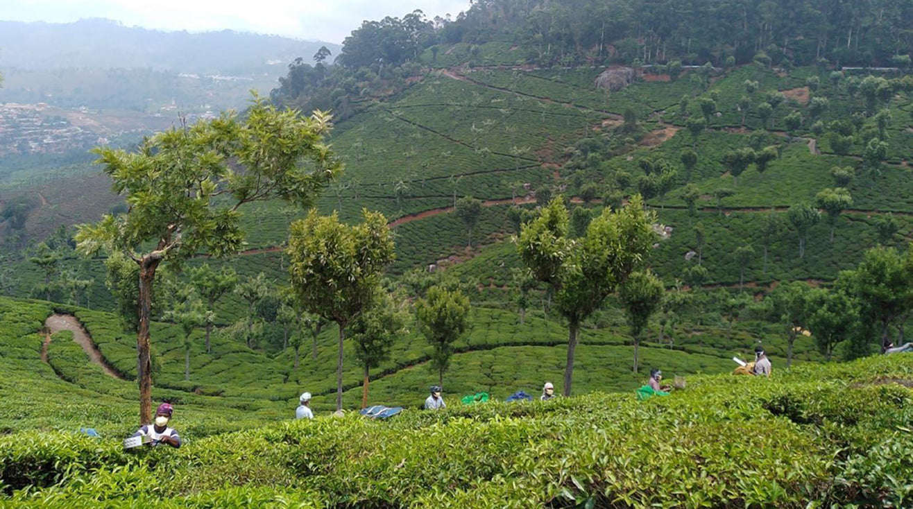 Tea workers in a tea field in southern India