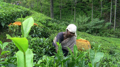 Woman tea plucker chest high in tea bushes picking two leaves and a bud off of the camellia sinensis bush.