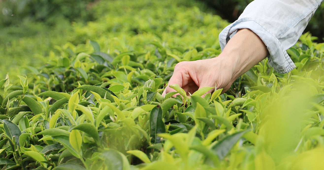 Picking fresh tea leaves from the plant