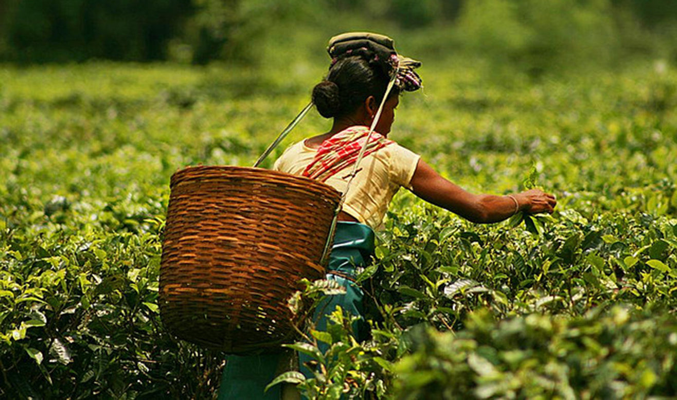 An Assamese woman with a basket on her back plucking Tea in a tea garden in Assam, photo courtesy of Akarsh Simha